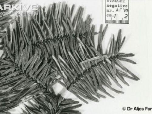 Fanjingshan-fir-specimen-350x234.jpg