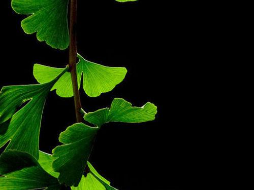 <em>Ginkgo</em> leaves, summer