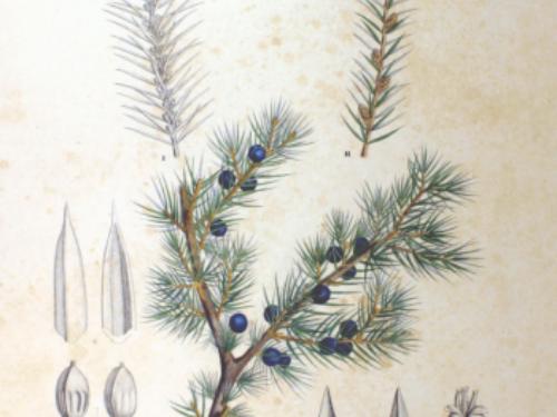 Juniperus_rigida_SZ125-350x487.png