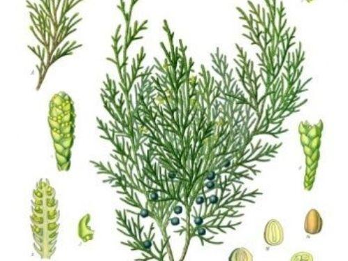 Juniperus_sabina-KC3B6hlerE28093s_Medizinal-Pflanzen-212-350x431.jpg