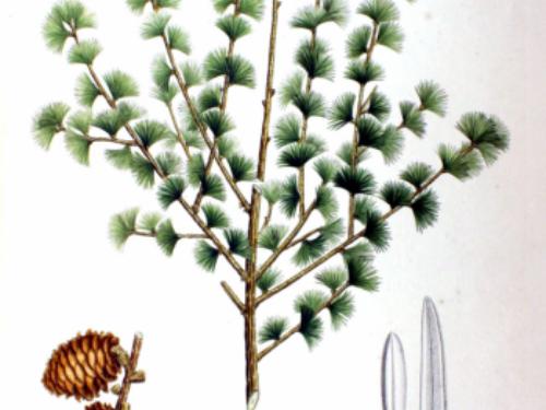 Artwork by Philipp Franz von Siebold and Joseph Gerhard Zuccarini, 1870 from Flora Japonica, Sectio Prima (Tafelband).