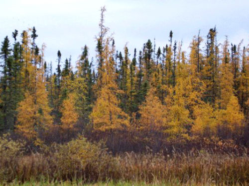<em>Larix laricina </em>(yellow fall colors), with <em>Picea mariana </em>(green) behind; northern Minnesota.