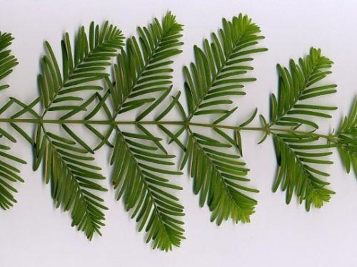 <em>Metasequoia glyptostroboides</em> leaves; Dawn redwood foliage, note opposite arrangement.