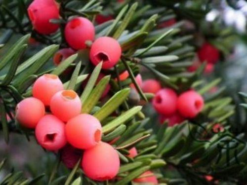 Ornamental-Plant-Taxus-Chinensis-300pcs-Family-Taxaceae-Perennial-Chinese-Yew-Evergreen-Tree-Taxus-350x243.jpg