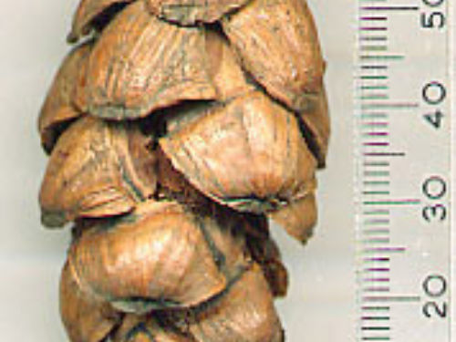 seed cone from the M.P. Frankis collection.