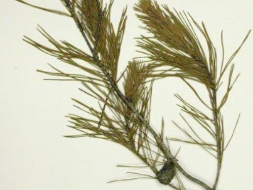 herbarium sample courtesy of University of South Florida