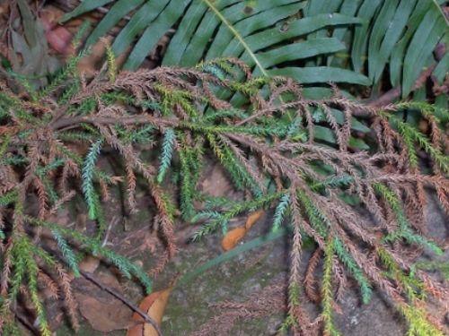 Pherosphaera fitzgeraldii (syn. Microstrobos fitzgeraldii) with Blechnum fern at Mt Tomah, west of Sydney, Australia