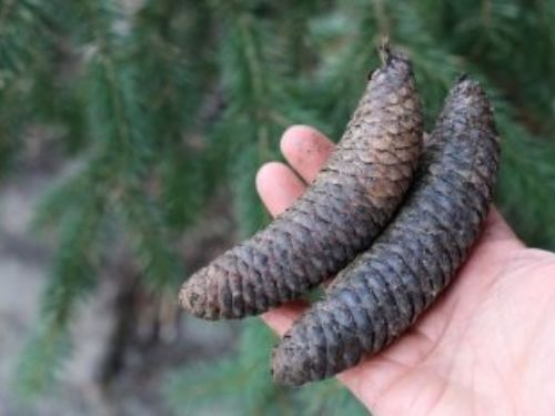 <em>Picea chihuahuana </em>— cone scales are stiff, apex almost square-ended