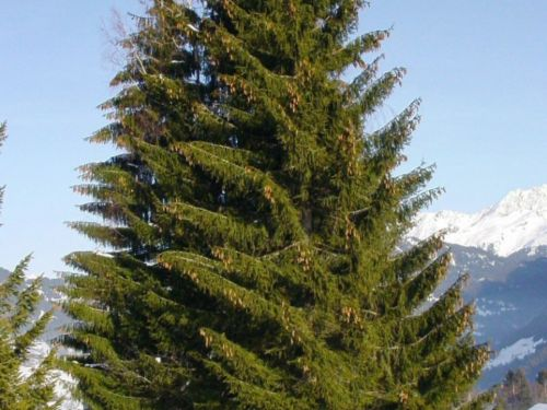 <em>Picea abies</em>, the Norway Spruce