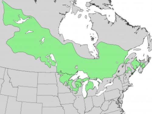Natural range of <em>Pinus banksiana </em>