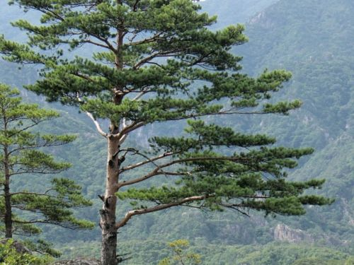 "<em>Pinus densiflora</em>, Kumgangsan (""Diamond Mountains""), North Korea, just north of the Demilitarized Zone buffer zone between North and South Korea."