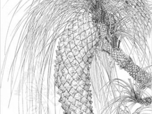 Pinus_devoniana_s-350x476.jpg