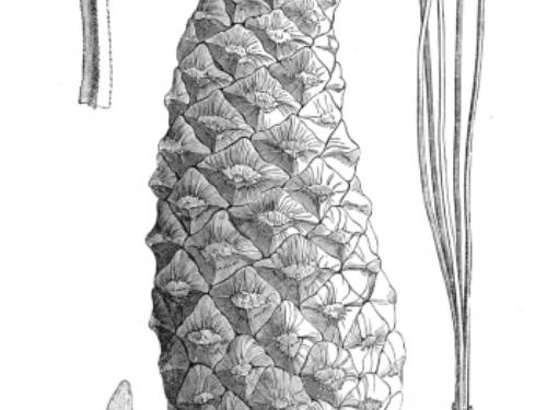 Pinus_douglasiana_illustration-350x521.png