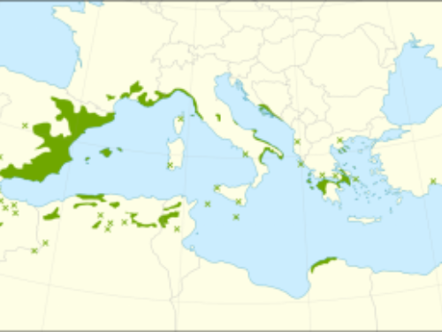 By Giovanni Caudullo - Mauri, A., Di Leo, M., de Rigo, D., Caudullo, G., 2016. Pinus halepensis and Pinus brutia in Europe: distribution, habitat, usage and threats. In: San-Miguel-Ayanz, J., de Rigo, D., Caudullo, G., Houston Durrant, T., Mauri, A. (Eds.), European Atlas of Forest Tree Species. Publ. Off. EU, Luxembourg, pp. e0166b8+After:Critchfield, W. B., Little, E. L., 1966. Geographic distribution of the pines of the world. No. 991. U.S. Dept. of Agriculture, Forest Service, Washington, D.C.EUFORGEN, 2008. Distribution map of Aleppo pine (Pinus halepensis). www.euforgen.org, CC BY 4.0, https://commons.wikimedia.org/w/index.php?curid=48197162