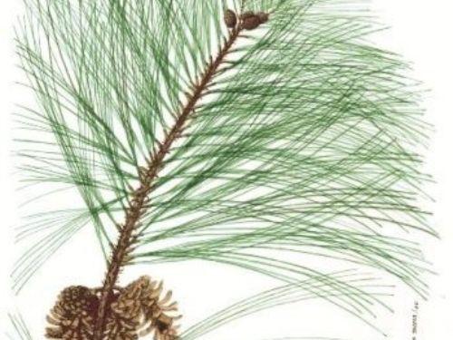 Pinus_maximinoi-350x507.jpg