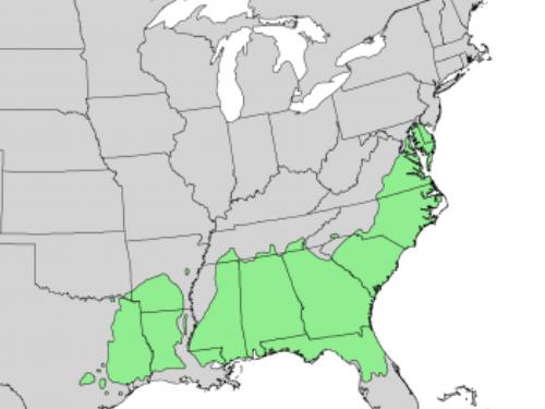 natural range of <em>Pinus taeda </em>