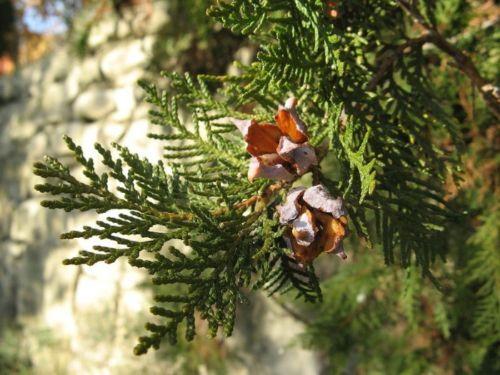 <em>Platycladus orientalis </em> foliage and cones, cultivated, Castino, Piemonte, Italy