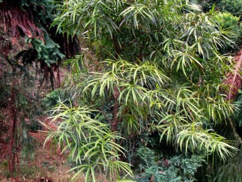 Podocarpus neriifolius in Koishikawa Botanical Gardens, Tokyo, Japan