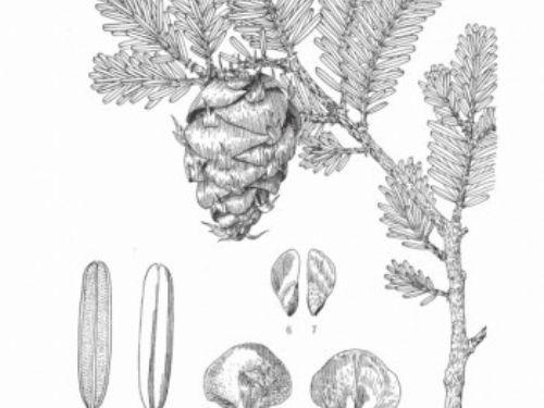 Pseudotsuga-brevifolia-350x534.jpg