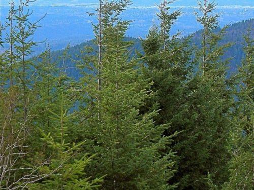 Young Pseudotsuga menziesii, Tiger Mountain, Seattle, Washington.