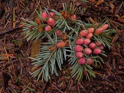 Pseudotsuga menziesii shoot with pollen cones, Squak Mountain, Washington.