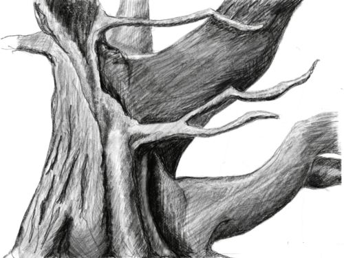 original artwork by Sara Malone, American Conifer Society