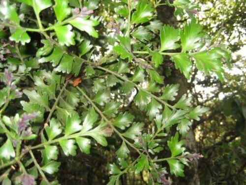 Phyllocladus trichomanoides, photographed in Aukland, New Zealand