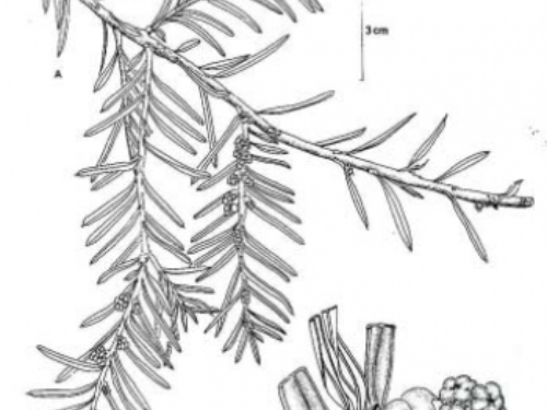Taxus-globosa-Schlecht-A-rama-con-estrobilos-masculinos-B-segmento-de-la-rama-con-350x489.png