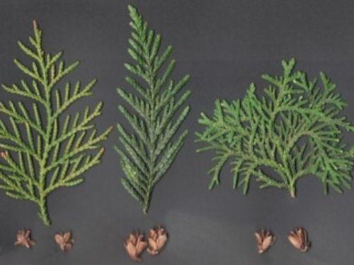 foliage and cones of <em>Thuja sutchuenensis </em> (left), <em>Thuja plicata </em> (center), and <em>Thuja occidentalis </em> (right)