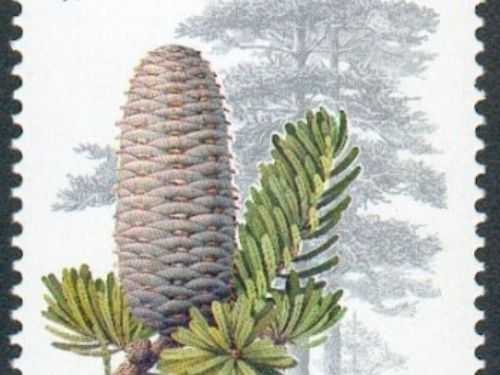 <em>Abies beshanzuensis</em>, as described in 1976 by Wu Ming Hsiang in <em>Acta Phytotaxonomica Sinica,</em> 14 edition, is commonly known as 百山祖冷杉 (Bǎi shān zǔ lěngshān / Baishanzu fir) in the Chinese language; as well as Baishan fir to English speakers. There are two recognized varieties. <em>A. beshanzuensis</em> var. <em>beshanzuensis</em>, the typical variety which is described here.  <em>A. beshanzuensis</em> var. <em>ziyuanensis</em> (L. K. Fu &amp; S. L. Mo) 1980. Please refer to this link for description and pictures. Description. Baishan fir is a species of evergreen coniferous tree growing to 50 feet (15 m) tall, with a broad conic crown and a trunk up to 2 feet (0.8 m) in diameter. The shoots are stout, pale yellow-brown, hairless or slightly hairy.  Leaves are linear, measuring 0.5 to 1.5 inches (1.5 – 4 cm) long and 0.1 to 0.14 inch (2.5 – 3.5) mm wide, colored glossy green above, and with two white stomatal bands below.  Seed cones are narrowly cylindric-conic shaped, bright green in color when immature, ripening to pale yellow-brown, and measure 2.5 to 5 inches (6 – 12 cm) long and 1 to 1.5 inches (3 – 4 cm) wide, with exserted and reflexed bracts.  It is closely related to Abies firma from southern Japan, placed with it as the only two members of Abies subsection Firmae. The species Abies ziyuanensis is included in Abies beshanzuensis as a variety by some botanists, though others place this species in a different subsection of the genus, Abies subsection Holophyllae. Distribution. This species is native to Baishanzu Shan in southern Zhejiang province in eastern China, growing at elevations of 6,070 feet (1,850m) above sea level and is threatened by collection and climate change. The site is within the Fengyangshan – Baishanzu National Nature Reserve. Abies beshanzuensis is classified as critically endangered by the IUCN Red List. It was discovered in 1963 on the summit of Baishanzu Shan (5,942 feet / 1,857 m), where only seven trees were found. Thr