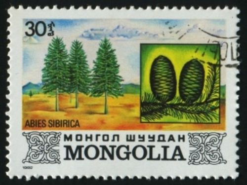 Abies sibirica, first described in 1833 by Carl Friedrich von Ledebour (1785–1851), is commonly known as Siberian fir, or as Пихта сибирская (pikhta sibirskaya) in the Russian language and as 西伯利亚冷杉 (xī bó lì yà lěng shān) in Chinese. There are two recognized subspecies: <em>A. siberica</em> subsp. <em>siberica</em>, the typical species which is described here. <em>A. siberica</em> subsp. <em>semenovii</em> which is confined to Kyrgyzstan. Please see this link for more information. Description. Siberian fir is an evergreen coniferous species of tree which will grow to heights of 100 to 112 feet (30 – 35 m) tall with a trunk measuring from 1.5 to 3 feet (0.5 – 1 m) in width at breast height and a conical crown. The bark is gray-green to gray-brown and smooth with the resin blisters that are typical of most firs. Shoots are yellow-grey, resinous, and slightly pubescent. The leaves are needle-like, 0.8 to 1 inch (2 – 3 cm) long and 0.12 inch (1.5 mm) broad on average. They are light green above with two grey-white stomatal bands underneath, and are directed upwards along the stem. They are soft, flattened, and strongly aromatic. The seed cones are cylindrical, 2 to 3.8 inches (5 – 9.5 cm) long and 1 to 1.4 inches (2.5 – 3.5 cm) broad, with small bracts hidden by the scales. They ripen from bluish to brown or dark brown by mid-autumn. The seeds, 0.28 inch (7 mm) long with a triangular wing 0.28 to 0.5 inch (0.7 – 1.3 cm) long, are released when the cone disintegrates after maturity. It should be noted that this tree rarely lives over 200 years due to its susceptibility of fungal decay in the wood.