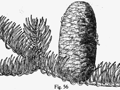 Botanical illustration by Charles Sprague Sargent