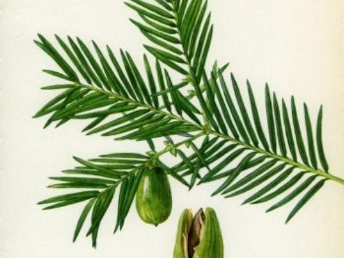 California nutmeg-yew, <em>Torreya californica, </em> illustrated by V. Choc, published in 1969