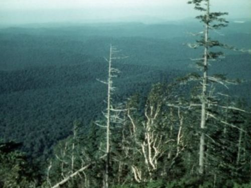 A tree on the Shkotovo Plateau, Ussuriland, Russia; said to be the world's tallest. Understory shrub is <em>Microbiota decussata. </em> photo by Vladimir Dinets.