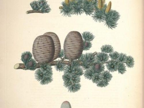 A description of the genus Pinus :.London :J. White,1803-1824..