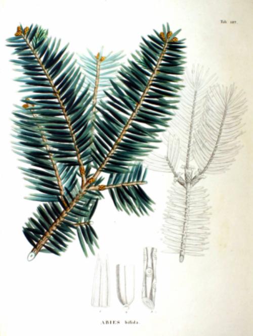 Flora Japonica, Sectio Prima (Tafelband). Author: Philipp Franz von Siebold and Joseph Gerhard Zuccarini
