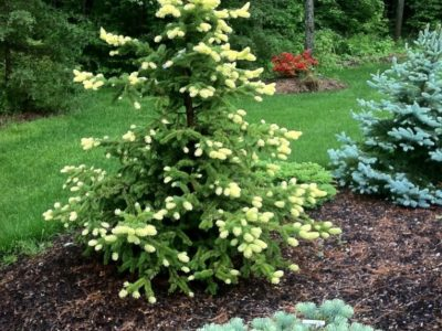 Picea pungens 'Gebelle's Golden Spring' lights up the back yard. It's a Colorado blue spruce most of the year, like its cousin to the right, the straight species Picea pungens. In the foreground is a dwarf prostrate white (or concolor) fir.