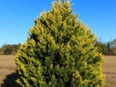 'Gold Rider' Leyland cypress shows off its lovely golden foliage