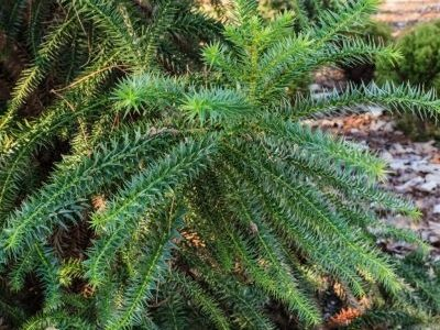 Cunninghamia konishii 'Little Leo' is one of the few dwarf conifers in the Gardens