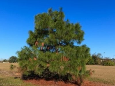 Pinus pseudostrobus (smooth bark Mexican pine) is a spectacular specimen