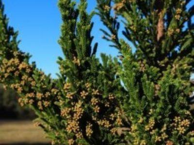 Cryptomeria japonica 'Black Dragon' cones
