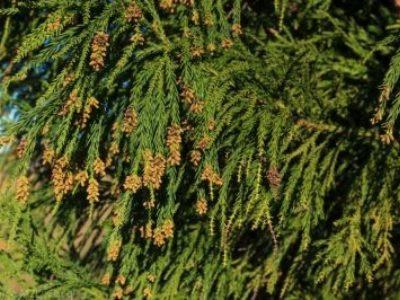 Cryptomeria japonica 'Yoshino' cones