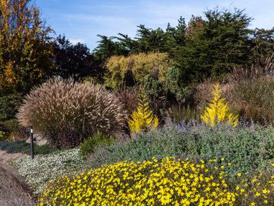 Cupressus macrocarpa 'Wilma' brighten up the perennial bed in winter