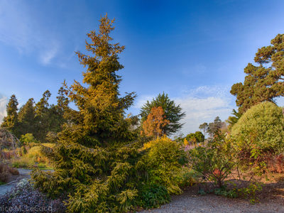 Picea orientalis 'Skylands'(syn 'Aurea)