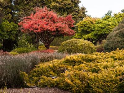 Acer griseum in full autumn color