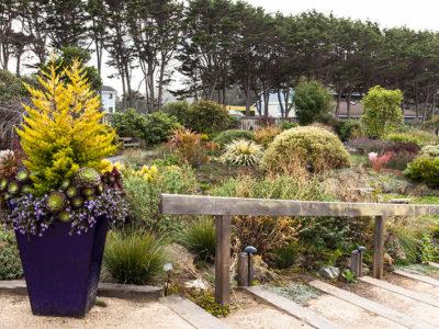 Cupressus macrocarpa 'Wilma' greets visitors