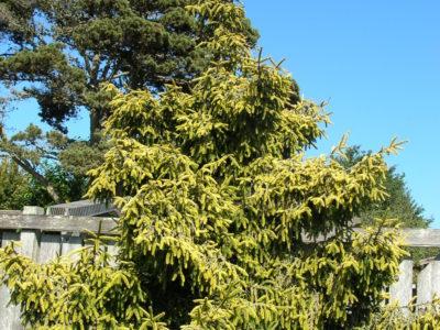 Picea orientalis 'Skylands' detail