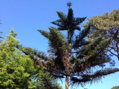 Araucaria heterophylla in the Ancient Plant Garden. Photo by Sara Malone