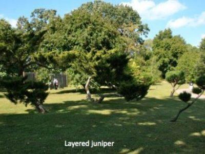 Layered junipers