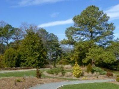 More conifers